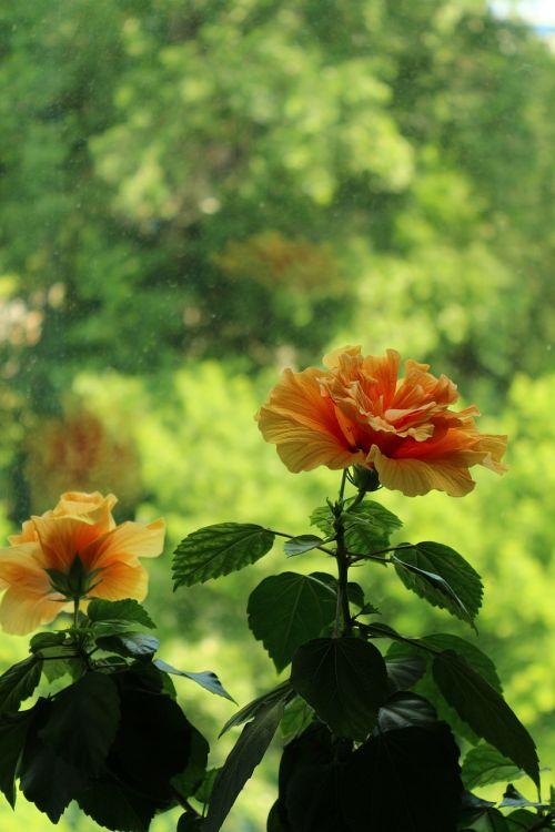 hibiscus,vasara,žydėti,gėlė,gamta,atostogos,saulė,gėlės,sodas,vasaros gėlės,kelionė,parkas,botanikos sodas,medis,nuotrauka,diena,grožis,vaizdas,parko gamykla