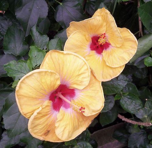 hibiscus,gėlės,gamta,atogrąžų,augalas,egzotiškas,tropinis,vasara,botanikos,sodas,botanikos,lapija