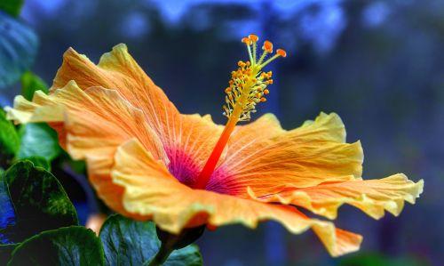 hibiscus,pilnas,žydėti,oranžinė,geltona,gamta,gėlė,lapai,flora,sodas,Iš arti,lauke,spalva,gražus,atogrąžų,žydi,gėlių,žiedlapis,medis