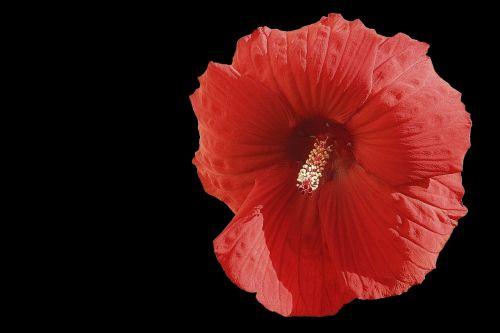 hibiscus gėlė,milžiniškas hibiscus,raudona,hibiscus,juodas fonas