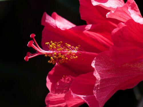 hibiscus gėlė,antspaudas,žiedadulkės,žiedas,žydėti,hibiscus,gėlė,žiedlapiai,Mallow,raudona,dekoratyvinis augalas,tuti,pistil,Kinijos rožė eibisch,hibiscus rosa sinensis,Kinijos rožė,kambario hibiscus,malvaceae,augalas,pusbokšlis