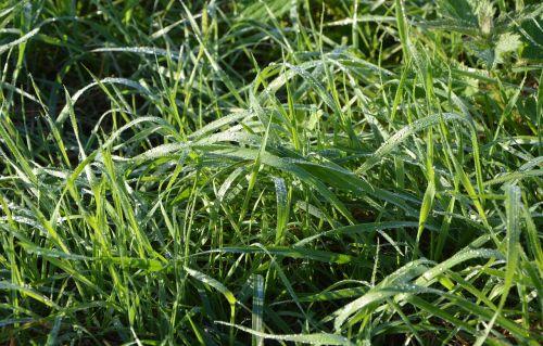 aukšta žolė,ryto rasa,vandens lašeliai,žalias,žolė aukšta,gamta
