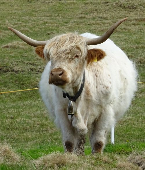 Highland beef,bulius,ganyti