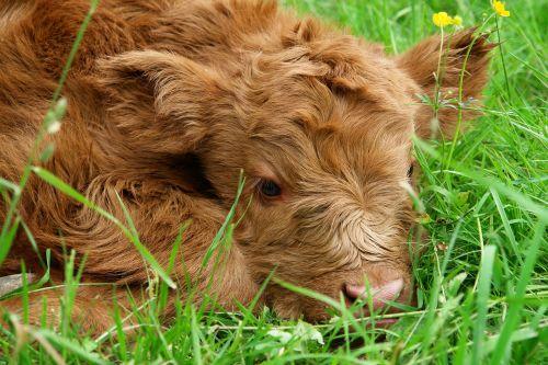 Highland beef,veršelis,škotiškas hochlandrindas,karvė,marškiniai,gamta,ganykla,jaunas gyvūnas,mielas,kalnų galvijai,jautiena