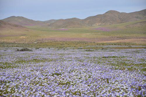 kalvos,žydintis dykumas,gėlės,violetinė,gėlė,dykuma,gamta,dykumos gėlė,violetinė gėlė,balta gėlė,tapetai