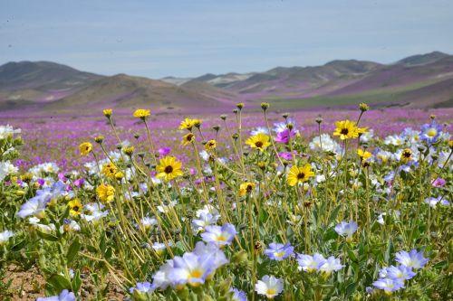 kalvos,žydintis dykumas,gėlės,violetinė,gėlė,dykuma,gamta,dykumos gėlė,violetinė gėlė,geltona gėlė,fonas,tapetai