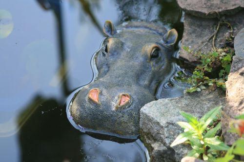 hippo,tvenkinys,pelėnas,žinduolis,vanduo,laistymo anga,afrika,gyvūnas,sodo tvenkinys