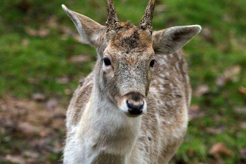 Hirsch,paprastosios elnies,miškas