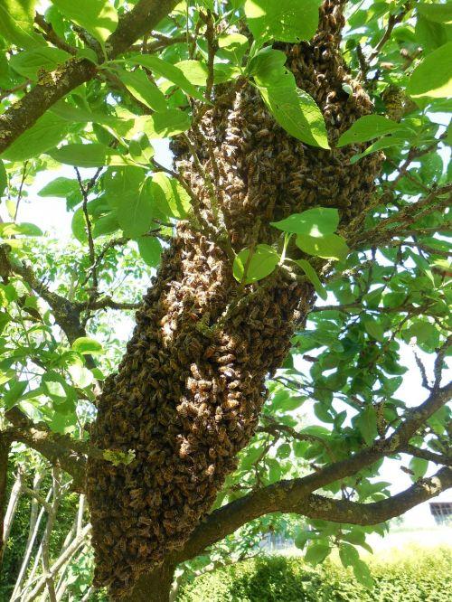 avilys,bitės,medis,bitininkas,bitininkystė,gamta,bičių veisimas,vasara,hum,sodas,skristi,surinkti,swarm,darbas,hobis
