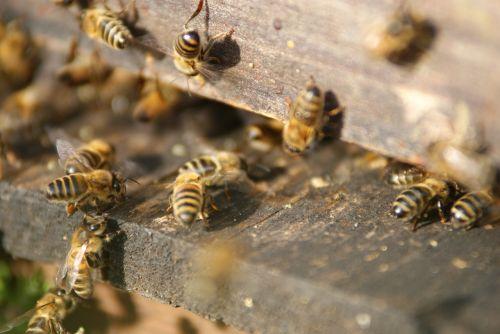 avilys,bitės,bitininkas