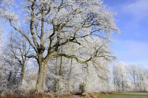 auskaras,šaltas,žiema,sušaldyta,šaltis,žiemos laikas,žiemą,žiemos magija,žiemos įspūdžiai,žiemos nuotaika,lapai,filialai,žiemos miškas,medis,ąžuolo,žiemos svajonė