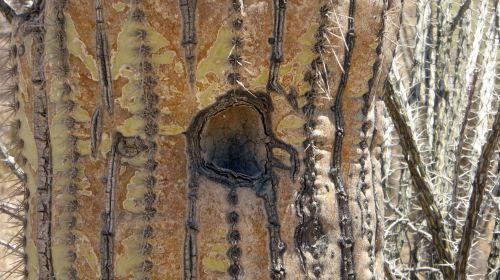 Saguaro, kaktusas, kaktusai, gamta, lauke, skylė, mirti, puvimas, modelis, tekstūra, skylė yra puvimo kaktusas