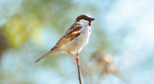 naminis žvirblis,gražus žvirblis,pakistani žvirblis,žvirblis,gražus paukštis,paukštis,zuikis paukštis,vienintelis paukštis,paukštis gražus,maža paukštis,mažas žvirblis,gražus mažas paukštis