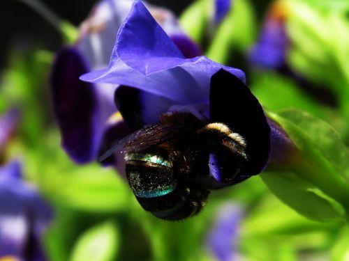 žalias & nbsp, bitės, mėlynos & nbsp, bitės, medus & nbsp, bitės, čiulpti, gėlės, makro, tapetai, bitės, medus, augalai, sodas, portretas, medus bitė čiulpti gėlių 02