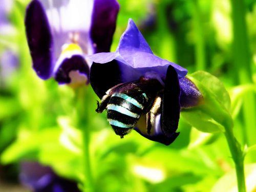 žalias & nbsp, bitės, mėlynos & nbsp, bitės, medus & nbsp, bitės, čiulpti, gėlės, makro, tapetai, bitės, medus, augalai, sodas, portretas, medus bitė čiulpti gėlė