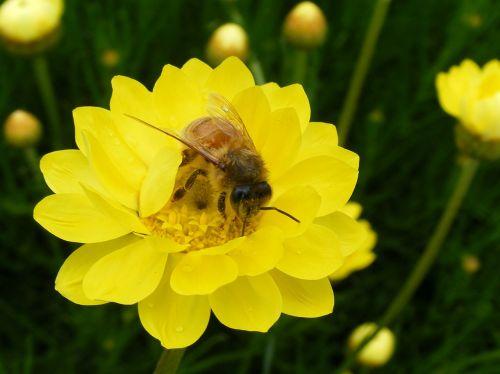 medaus BITĖ,popierinis daisy,Daisy,bičių,geltona,žiedadulkės,rinkti,rinkimas,medus,šviesus,pavasaris,darbo
