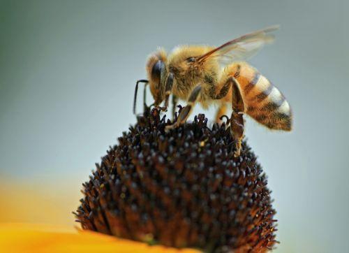 medaus BITĖ, nektaras, žiedadulkės, vabzdys, gėlė, makro, viešasis & nbsp, domenas, fonas, tapetai, laukinė gamta, profilis, portretas, išplistų, bičių, žiedas, gamta, augalas, naminių bičių rinkimas žiedadulkes