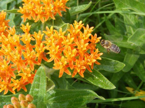 gamta, gėlė, gėlės, wildflower, laukinės vasaros spalvos, bičių, bitės, medaus BITĖ, medus bitės, medus bites ant drugelio piktžolių