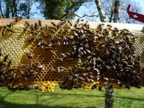 medus bitės,korio rupiniai,medus,bičių,bitininkystė,gamta,bityna,vaškas,ląstelė