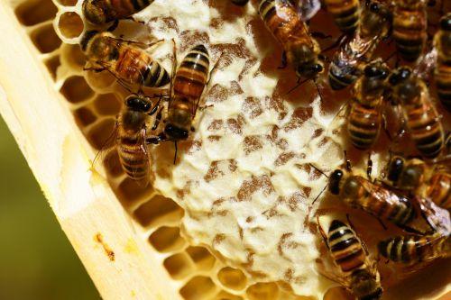Honeycombes,bitės,medus,medus bitės,korio rupiniai,buckfast bitės,šukos,avilys,avilys,auksinis,nektaras,Iš arti,išsamiai
