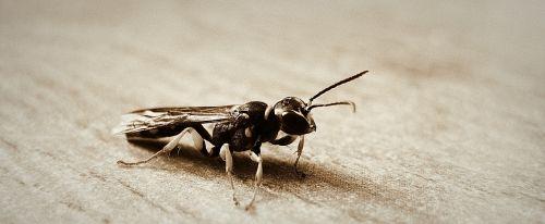 Hornet,sparnai,makro,vabzdys,klaida,mažas,subtilus,trapi,antenos,krūtinės angina,laukiniai,entomologija,lauke,gyvenimas,gamta,bestuburiai