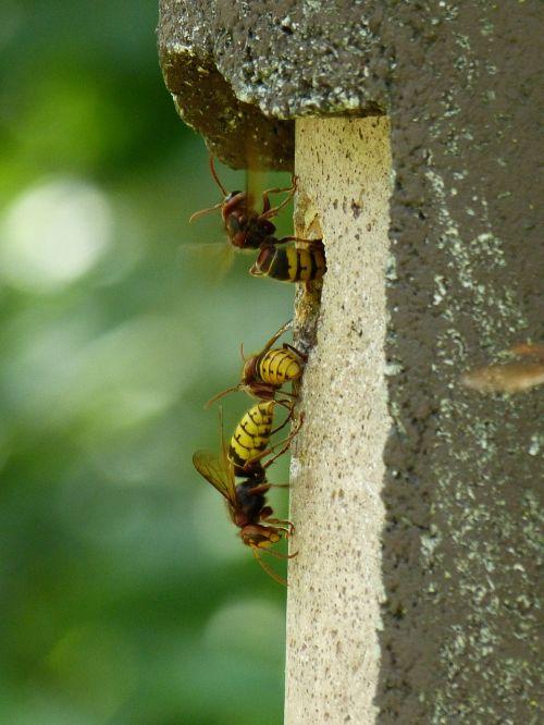 šikšnosparniai,vespa crabro,gyvūnas,vabzdys,isp,vespidae,šerti,avilys,hornissennest,lizdas,įėjimo skylė,lizdas,inkubatorius,nuskaityti,skristi,hum