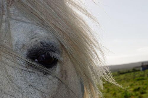 arklys,arkliai galva,galva,akis,Žiurkė,arklio galva,gyvūnas,arkliai,gamta,ūkis,balta,pilka,natūralus,kaimas