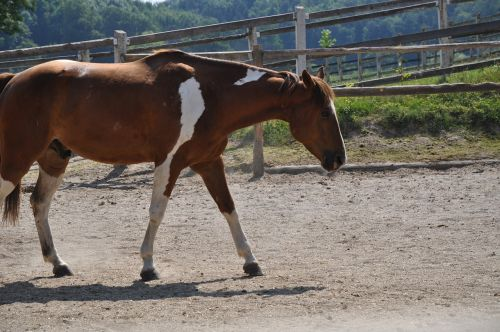 arklys,paddock,čekiai,fuksas,fuchsschecke,žingsnis,eržilas,melding,atsipalaidavęs,ponis