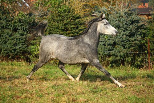 arklys,pelėsiai,grynas arabiškas,Mare,ganykla,rait,gamta