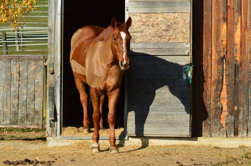 arklys,gyvūnas,važiuoti,Reiterhof,ruda,jungtis,pieva,skutimosi,žiemos skutimosi
