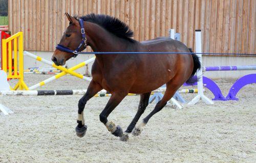 arklys,tamsiai rudas,lunging,nuogas,mokymas,molio kiemas,kliūtys,šokti,pėdos padėtis,užsispyręs,pasitikėjimas,striukės,apleisti
