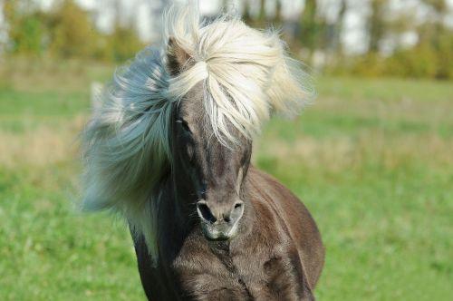 arklys,islandų salos,Islandijos arklys,iceland pony,Žiurkė