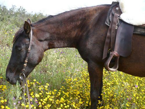 arklys,Vakarų jojimo,valgyti,dėmesio,Mare,paddock,pferdeportrait,Vakarų,šilta krauju,draugiškas,kamuoliukas,padengtas,vakarų balnelis