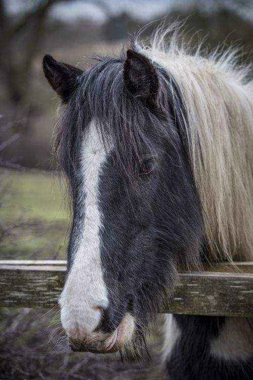 arklys, Žemdirbystė, gyvūnas, arktinė, arklys & nbsp, spalva, horizontalus, iceland, Islandijos & nbsp, arklys, kraštovaizdis, gyvuliai, ne & nbsp, žmonės, vienas & nbsp, gyvūnas, arklys