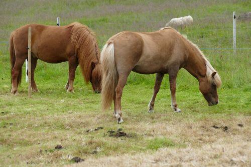arklys,iceland,Islandijos arklys,iceland pony,Žiurkė,ponis,gyvūnas,jodinėjimas,pieva,valgyti,važiuoti,arklio galva