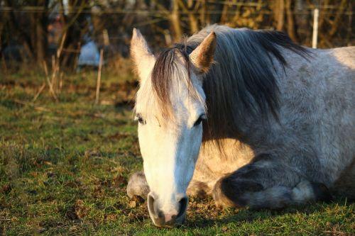 arklys,miegoti,pelėsiai,grynas arabiškas,ganykla,gulėti arklys,baltas žirgas,pilka
