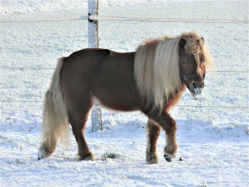 arklys,ponis,ganykla,sniegas,kraštovaizdis,eržilas,lapė,shetlander,Shetland ponis,mažas ponis