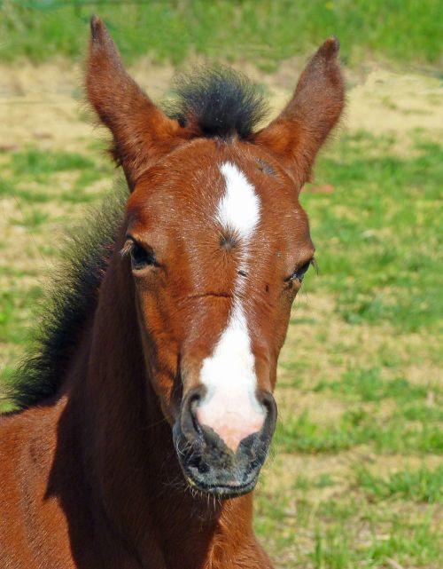 arklys,grynas arabų kraujas,veisliniai arkliai,galva,arabiškas,veisimas,arkliai,giraitė,petit