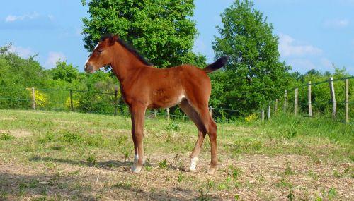 arklys,grynas arabų kraujas,arkliai,veisliniai arkliai,arabiškas,veisimas,arkliai,giraitė,petit,gamta