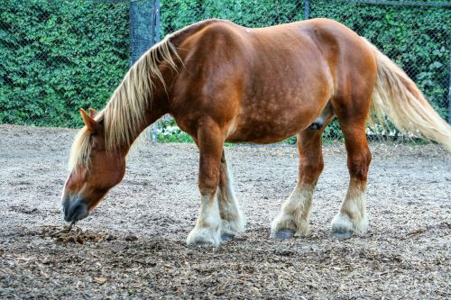arklys,gyvūnai,arkliai,gamta,važiuoti,ross,traukiantis arklys,laukinis arklys,Reiter,Žiurkė,ruda,kaim,kalnas,rait,eržilas,kirvis,darbinis arklys,ausys,šnervės,pėdos,nosis,Reiterhof,šokti,ūkis,stalas