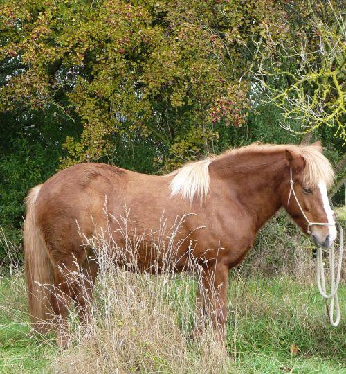 arklys,Islandijos arklys,iceland pony,iceland,islandų salos,ponis,maži arkliukai,Mare,gyvūnas,gamta,laukinės gamtos fotografija