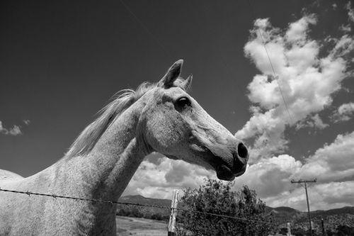 arklys,debesys,ponis,juoda ir balta fotografija,dangus,gyvūnai,kraštovaizdis,kaimas,arkliai,ūkis,eržilas,Šalis,jodinėjimas,saulėtas,Mare,ranča