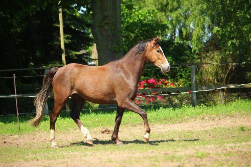 arklys,ponis,ruda,rait,ganykla,judėjimas