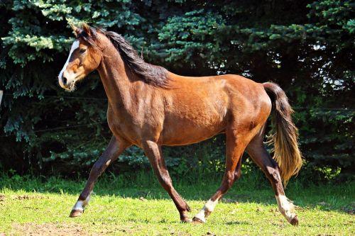 arklys,ponis,ruda,rait,ganykla,gyvūnas