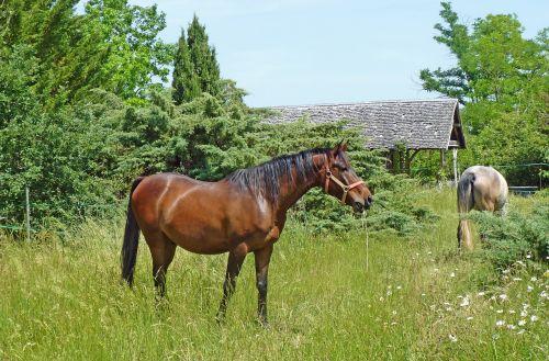 arklys,grynas arabų kraujas,arabiškas,arkliai,veisimas,gamta,veisliniai arkliai,pre,prairie,naršyti