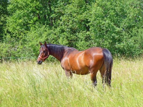 arklys,grynas arabų kraujas,arabiškas,arkliai,veisimas,arkliai,veisliniai arkliai,prairie,naršyti