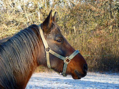 arklys,grynas arabų kraujas,arabiškas,arkliai,arkliai,galva,atrodo,veisliniai arkliai,apleisti,veisimas