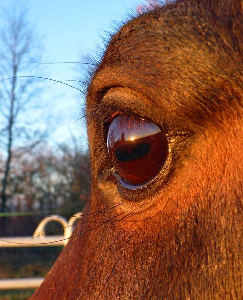 arklys,grynas arabų kraujas,arabiškas,arkliai,arkliai,galva,atrodo,veisliniai arkliai,akis