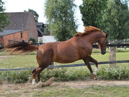 arklys,šilta krauju,paddock,Vakarų jojimo,važiuoti,šokti šuoliais,ruda,Mare,laukinės gamtos fotografija,šokti,jungtis