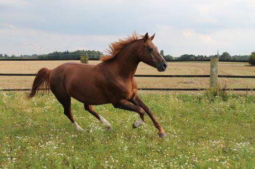 arklys,galopai,ganykla,šokti šuoliais,ruda,šilta krauju,pferdeportrait,jungtis,šilta kraujas,šokti,Mare,greičiausias eismas,pramoginiai sporto renginiai,hobis,dėmesio